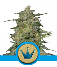 Royal Highness CBD