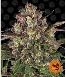 Peyote Critical LIMITED...