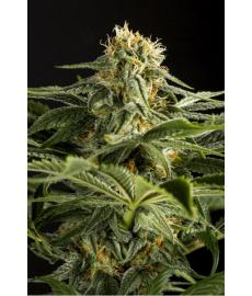 California Hash Plant