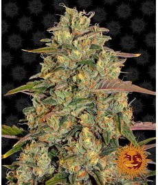 Amnesia Lemon