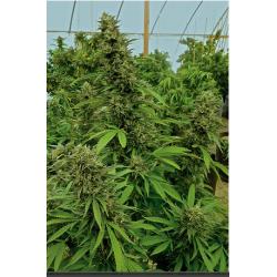 Drink 420 con CBD sabor...